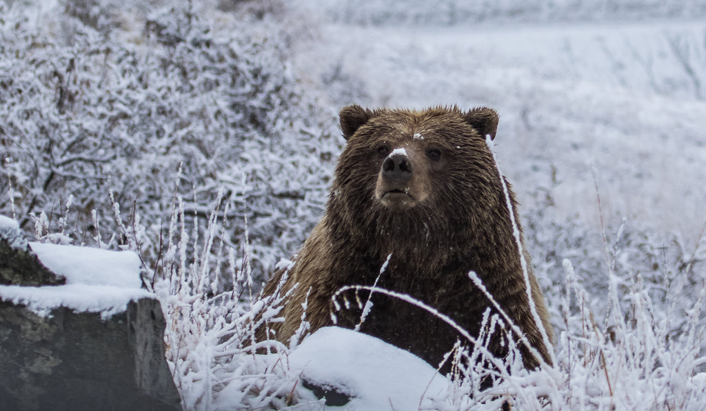 Grizzlies out of Hibernation