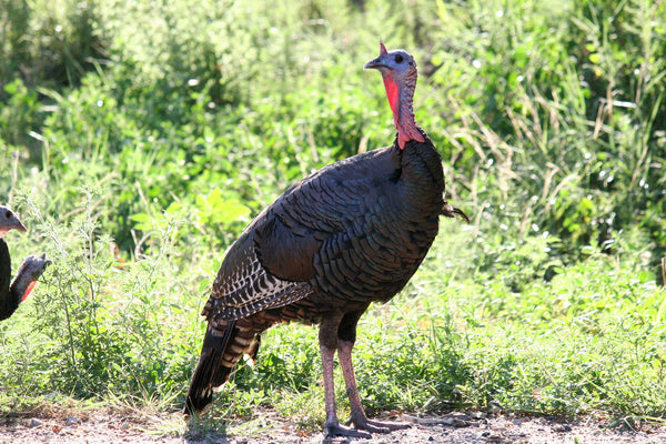 Fort Farms is home to a bounty of wildlife that lives here year-round, including the wild turkey.