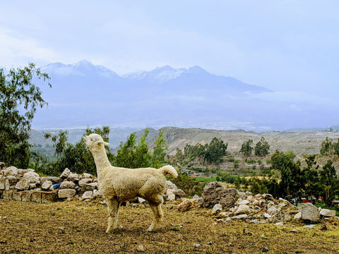 white alpaca with leg up in front of mountains in arequipa