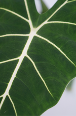 Load image into Gallery viewer, ALOCASIA FRYDEK (VELEVT ALOCASIA)