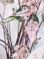 Load image into Gallery viewer, CALADIUM PINK