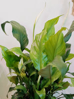 Load image into Gallery viewer, PEACE LILY VARIEGATED
