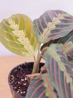 Load image into Gallery viewer, CALATHEA MARANTA RED (PRAYER PLANT)