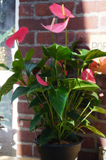 Load image into Gallery viewer, ANTHURIUM PINK