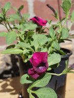 Load image into Gallery viewer, Petunia Purple