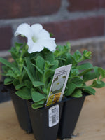 Load image into Gallery viewer, Petunia White