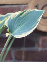 Load image into Gallery viewer, HOSTA FRIST FROST