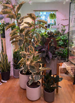 Load image into Gallery viewer, FICUS ELASTICA TINEKE