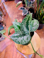 Load image into Gallery viewer, PHILODENDRON SILVER ANN