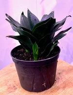 "Load image into Gallery viewer, SANSEVIERIA SNAKE PLANT (6"" VARIETY)"