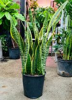 "Load image into Gallery viewer, SANSEVIERIA SNAKE PLANT (8""and UP)"