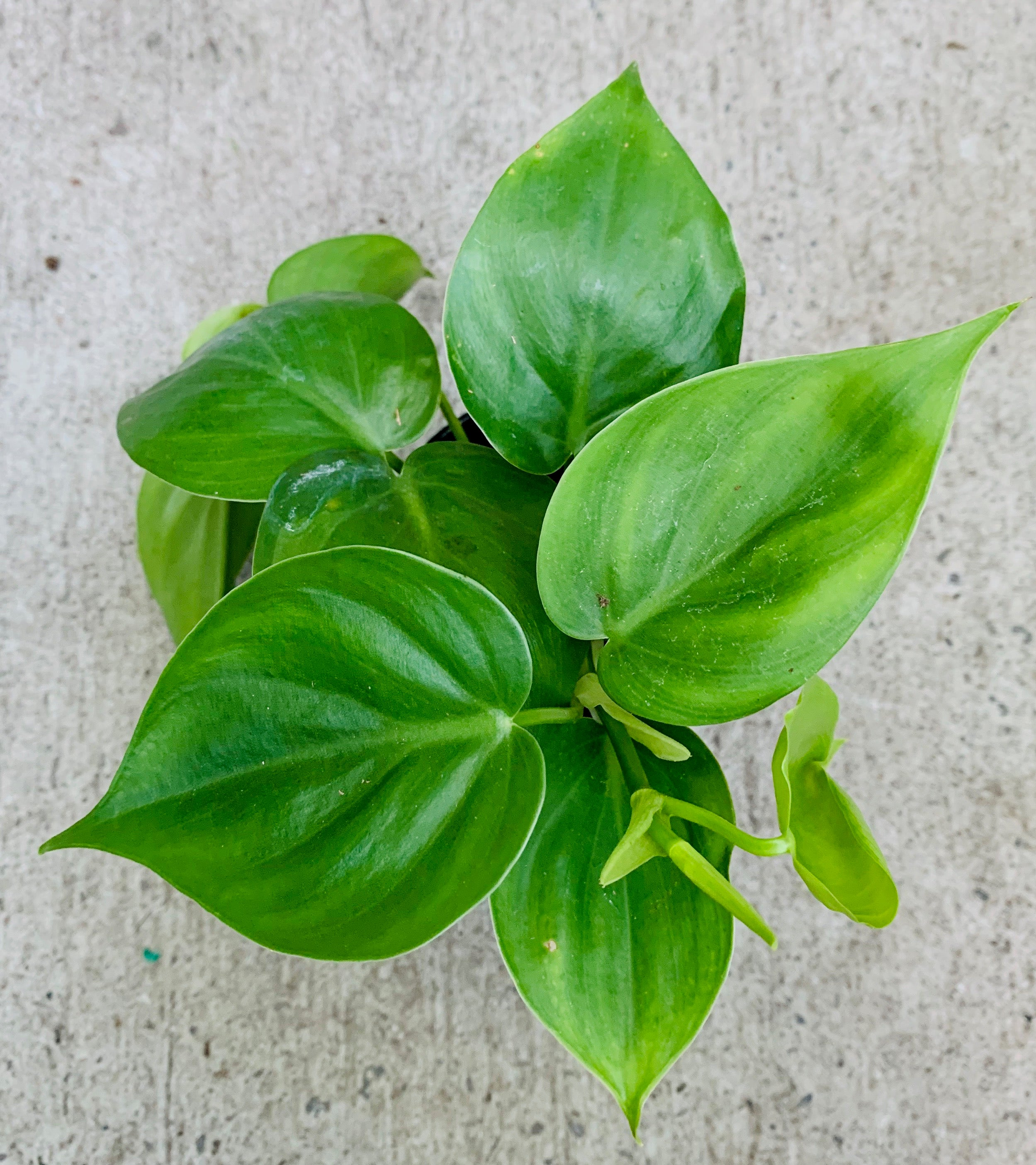 PHILODENDRON CORDATUM ( HEART LEAF)