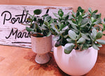 "Load image into Gallery viewer, CLASSIC CRASSULA OVATA ""JADE PLANT"""