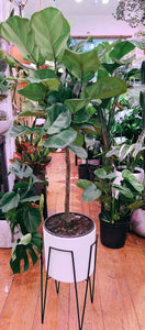 FICUS FIDDLE LEAF FIG
