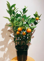 Load image into Gallery viewer, CALAMONDIN ORANGE PLANTS
