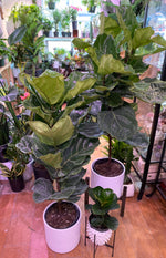 Load image into Gallery viewer, FICUS FIDDLE LEAF FIG