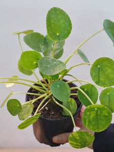 PILEA PEPEROMIODES (CHINESE MONEY PLANT)