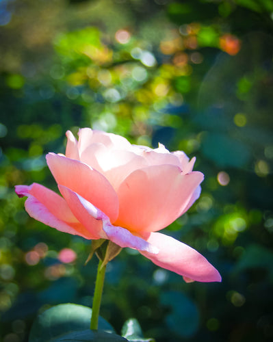 Fine Art Print: Summer Rose