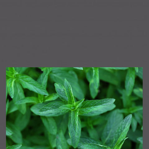 PEPPERMINT - Anti-inflammatory