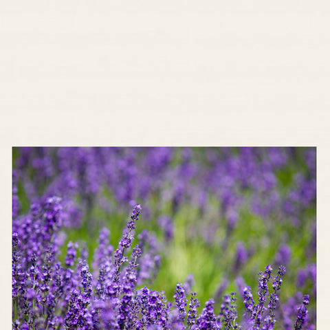 LAVENDER - Antiseptic and anti-inflammatory