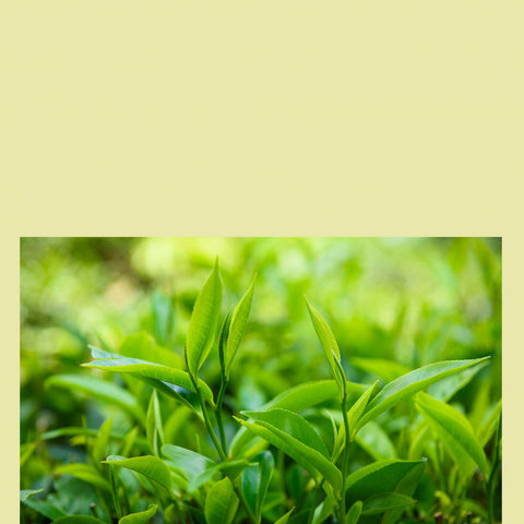 GREEN TEA - Antioxidants
