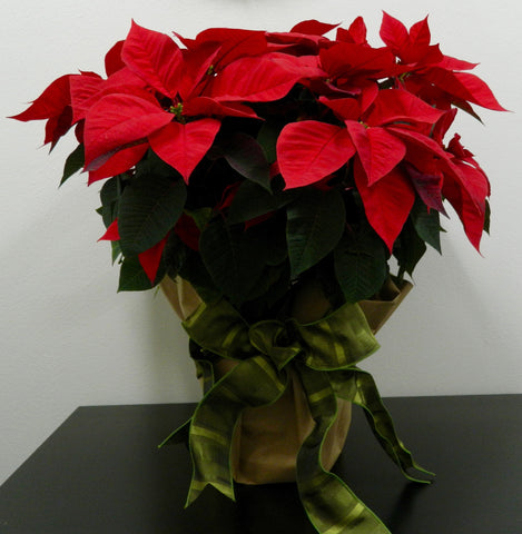 "10"" Poinsettia in Kraft Paper"