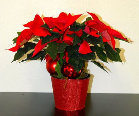 "4"" Poinsettia in Pot"