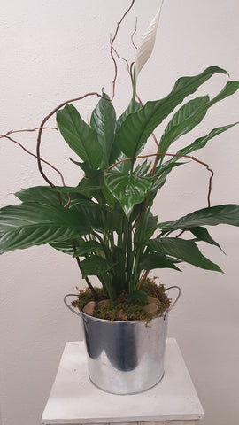 Peace Lily in Tin
