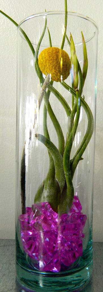 Tillandsia in Vase