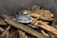 "Load image into Gallery viewer, Porcellio Laevis ""Dairy Cow"" - Evolver Reptiles"
