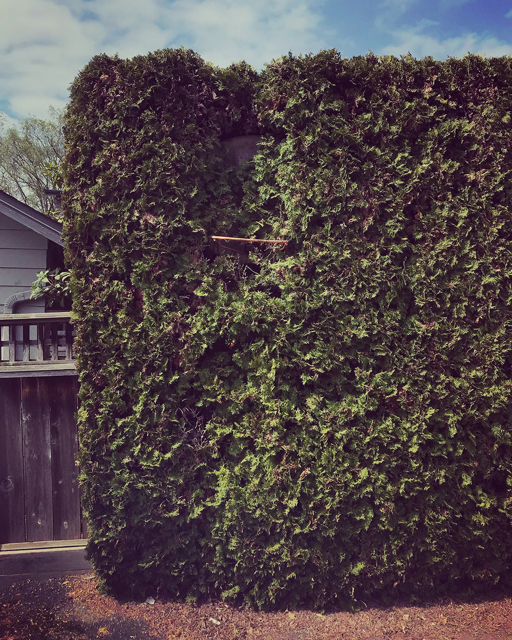 SPITGAN WEBZINE #3 Photo 12. Photo of basketball hoop nearly covered by the overgrowth of a hedge. Vancouver, BC
