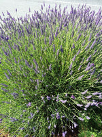 rosemary garden organic herbs and aromatherapy