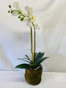 "15"" Phalaenopsis Drop In"