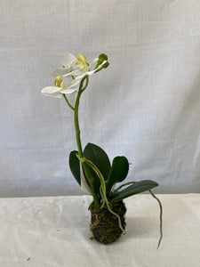 "12"" Phalaenopsis Mini Drop In"