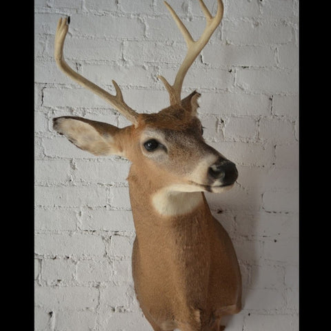 Deer Headmount