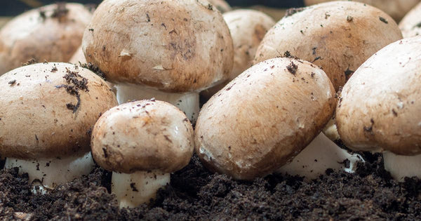 growing mushrooms using coffee