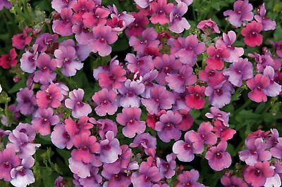 Nemesia Framboise 9cm In Recyclable Pots x 3 Plants