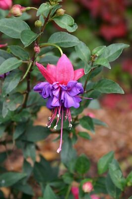 Fuchsia Winston Churchill 9cm In Recyclable Pots x 3 Plants