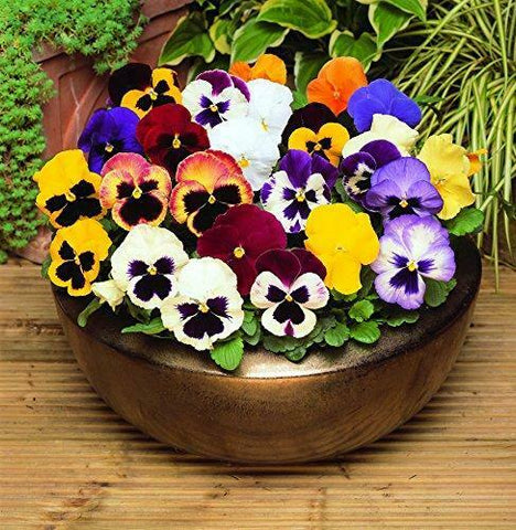2 X Winter Pansy Mixed 6 pack (12 Plants)