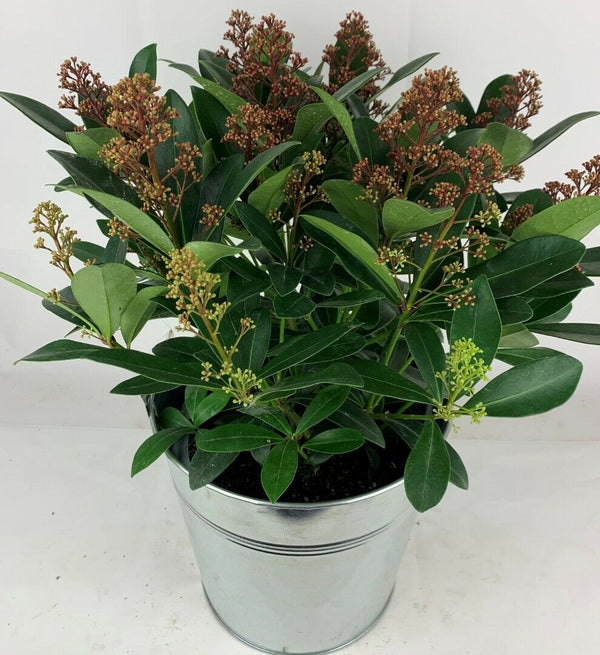 Skimmia Jap. Rubella 17cm 2L Pot 20  Flowers In Zinc Planter