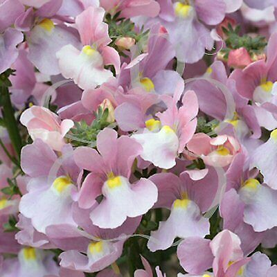 Nemesia Amelie 9cm In Recyclable Pots x 3 Plants