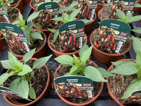 Pepper Apache 9cm Pots British Grown Recyclable Pots x 3