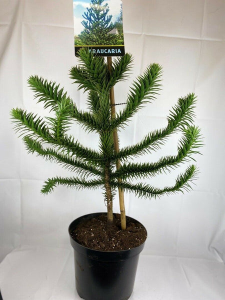 Large Monkey Puzzle Tree Araucaria Araucana 10L 85-90cm inc Pot
