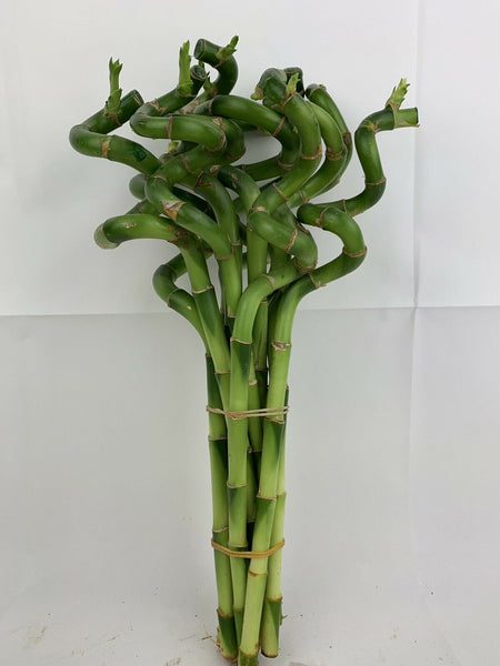 Lucky Bamboo 10 Spiral Stems 30cm Tall Indoor Plant Pot Garden Windowsill Bowl