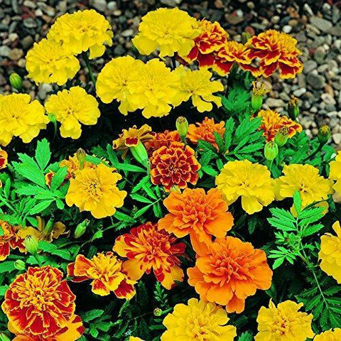 2 X Marigold French Mixed 6 Pack (12 Plants)