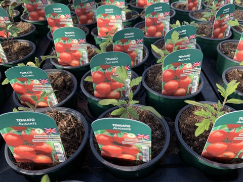 Tomato Alicante 9cm Pots British Grown Recyclable Pots x 3