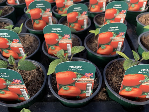 Tomato Ailsa Craig 9cm Pots British Grown Recyclable Pots x 3
