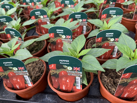 Pepper Redskin 9cm Pots British Grown Recyclable Pots x 3