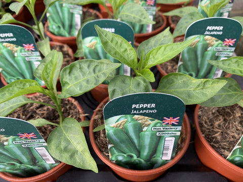 Pepper Jalapeno 9cm Pots British Grown Recyclable Pots x 3