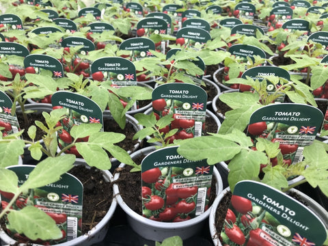 Tomato Gardeners Delight 9cm Pots British Grown In Recyclable Pots x 3